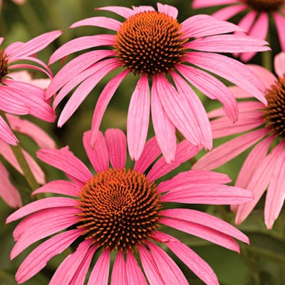 coneflower-or-echinacea for weight loss